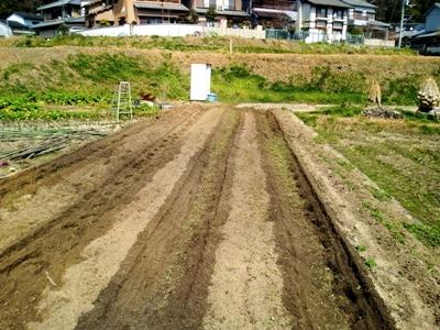 畝を作ったら種いもを定間隔に植えます