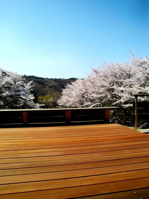 北のデッキから眺める桜並木