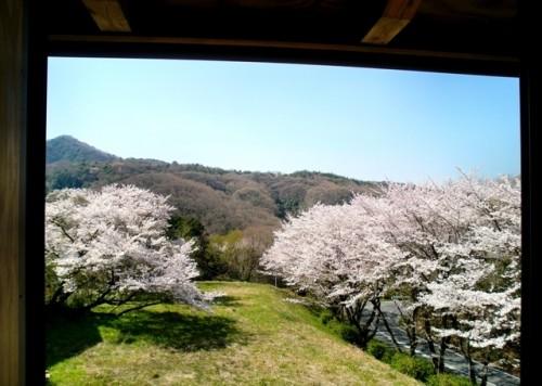寝室窓から望む桜並木